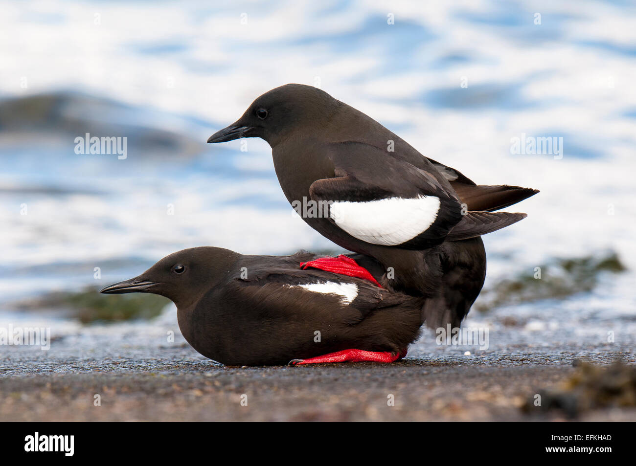 Black Guillemots (Cepphus grylle) adults mating on the harbour wall in Oban, Argyll, Scotland. May. Stock Photo