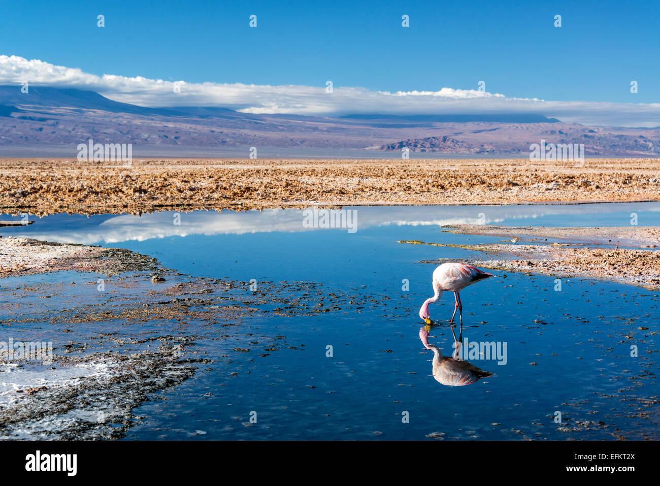 Closeup of an Andean Flamingo in Lake Chaxa near San Pedro de Atacama, Chile Stock Photo
