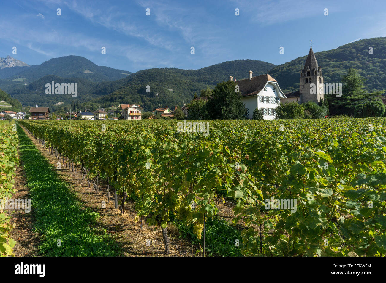 Clos del a Cure, Vineyards ,Aigle,  Lavaux region, Lake Geneva, Swiss Alps,  Switzerland - Stock Image
