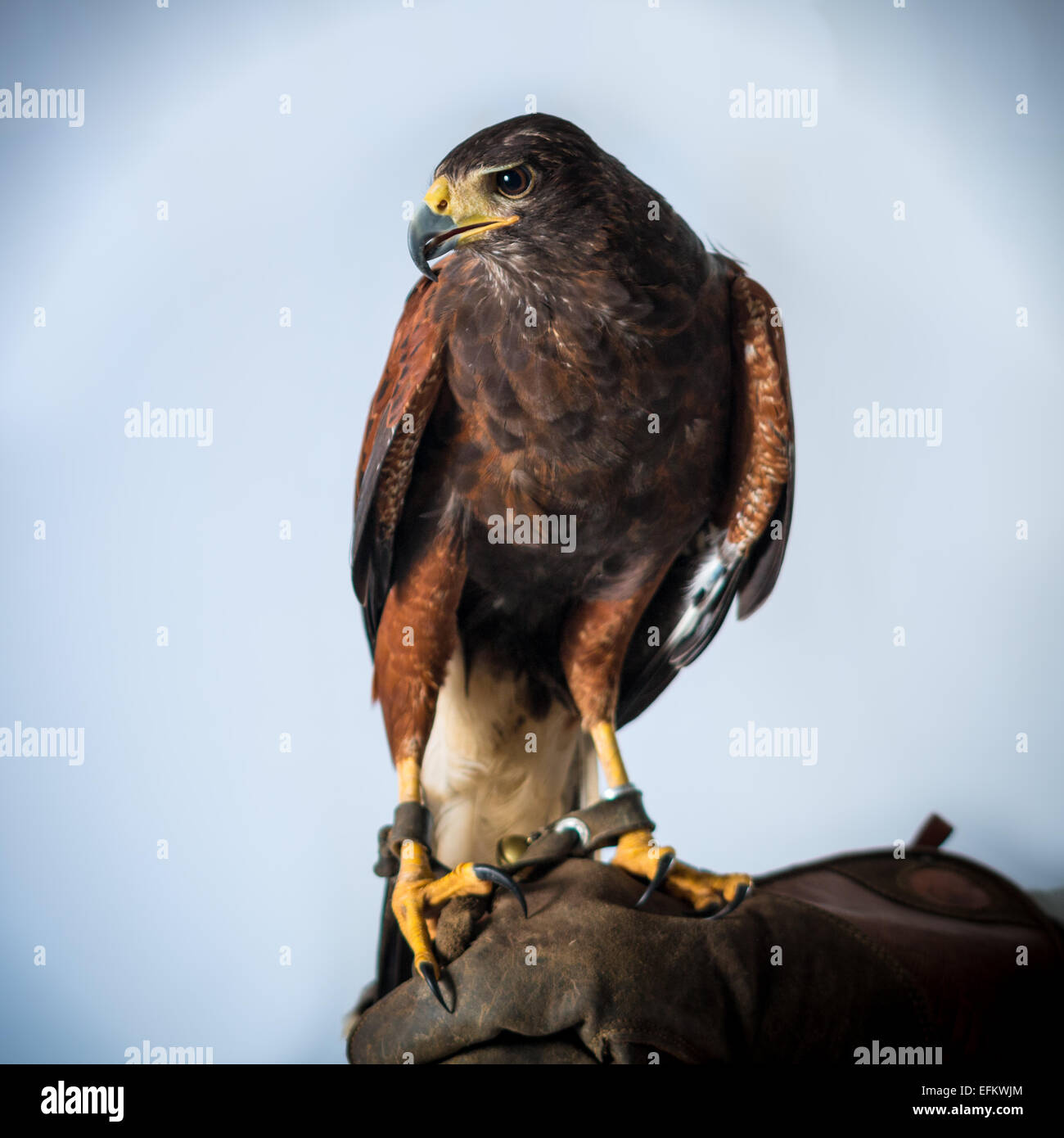 acute altitude beak big bird brown buzzard claws danger dangerous eye high hunter vision yellow - Stock Image