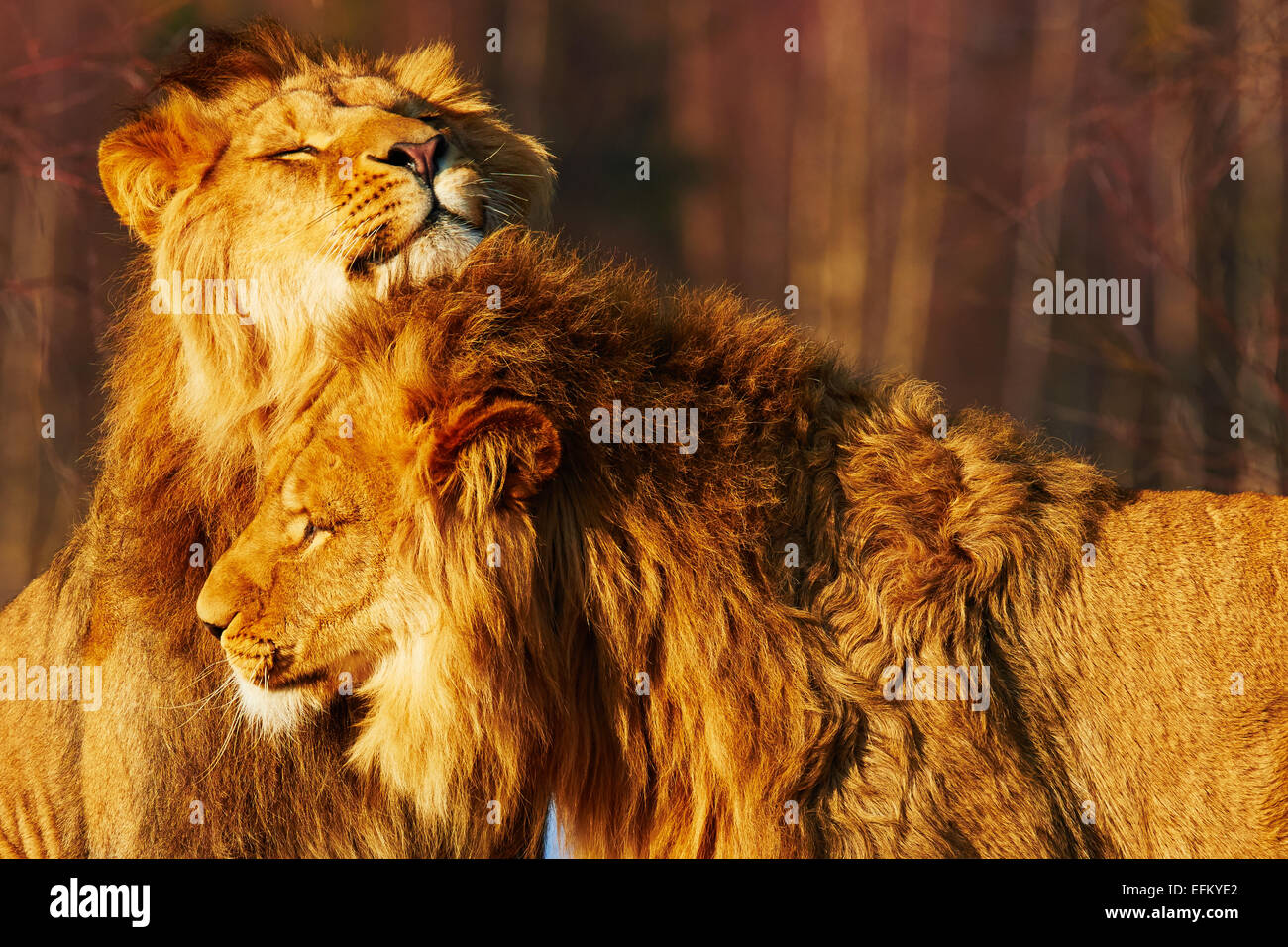 Two lion brothers close together in a forest - Stock Image