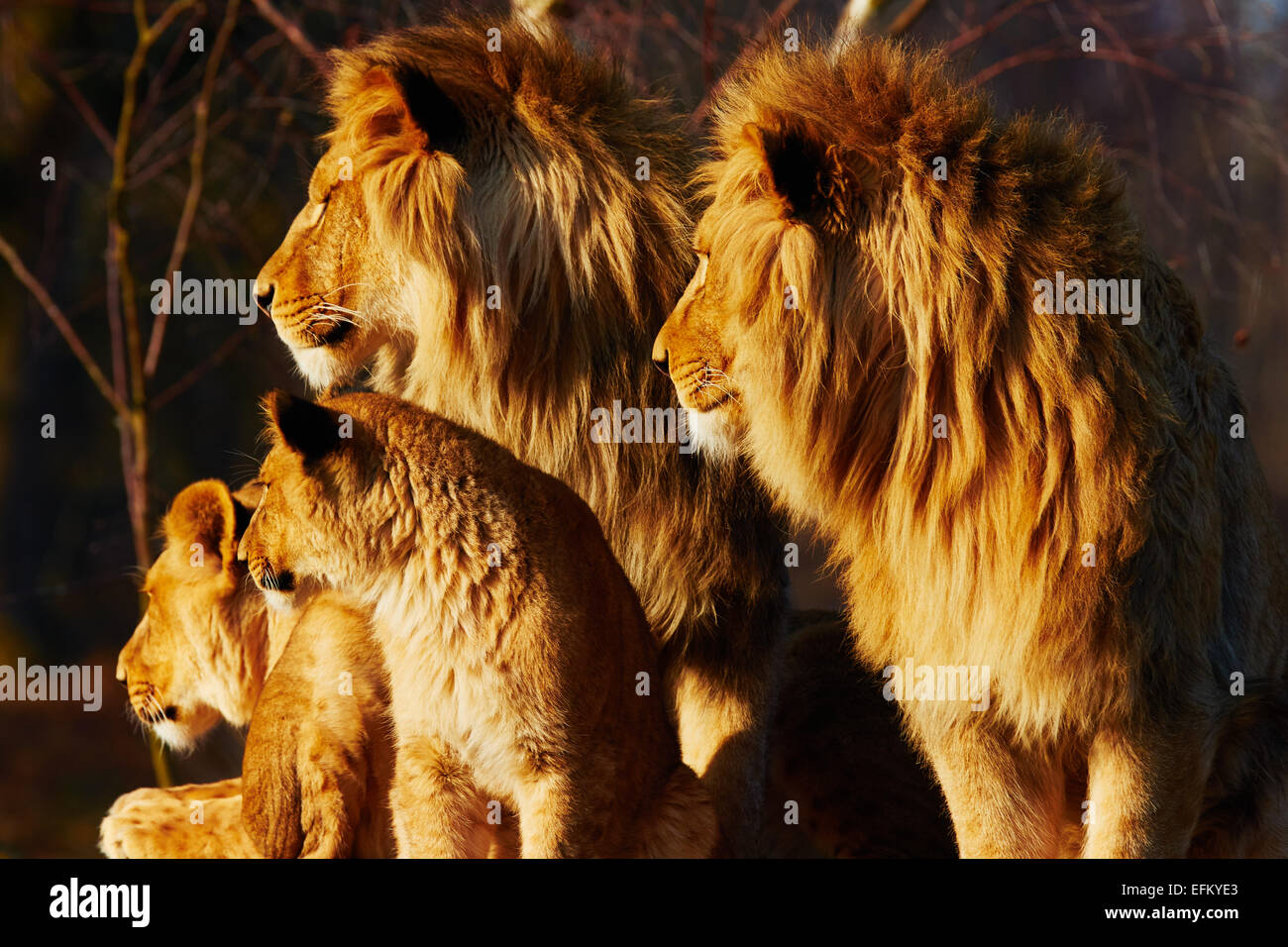 Four lions close together in a forest - Stock Image
