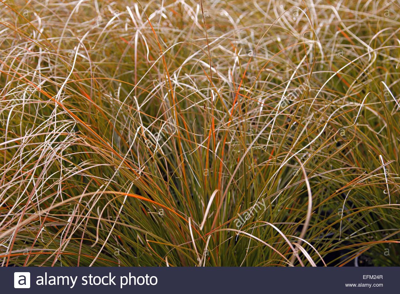 Carex Testacea   Stock Image