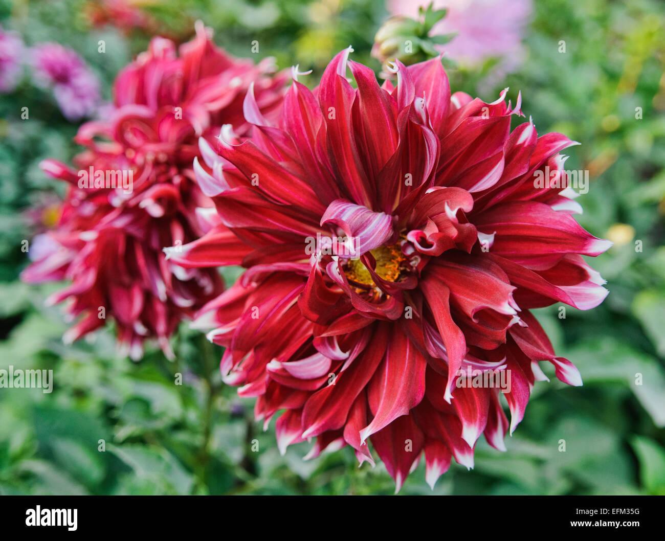Beautiful Red Dahlia Flower Stock Photo 78502860 Alamy