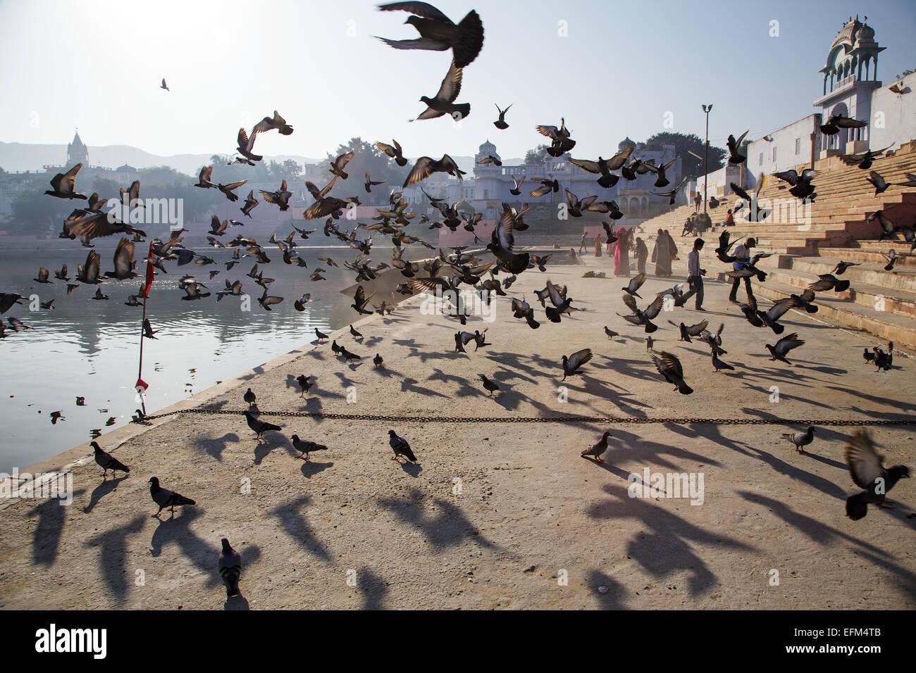 Pigeons flying at Holy Hindu lake in Pushkar, Rajasthan, India - Stock Image