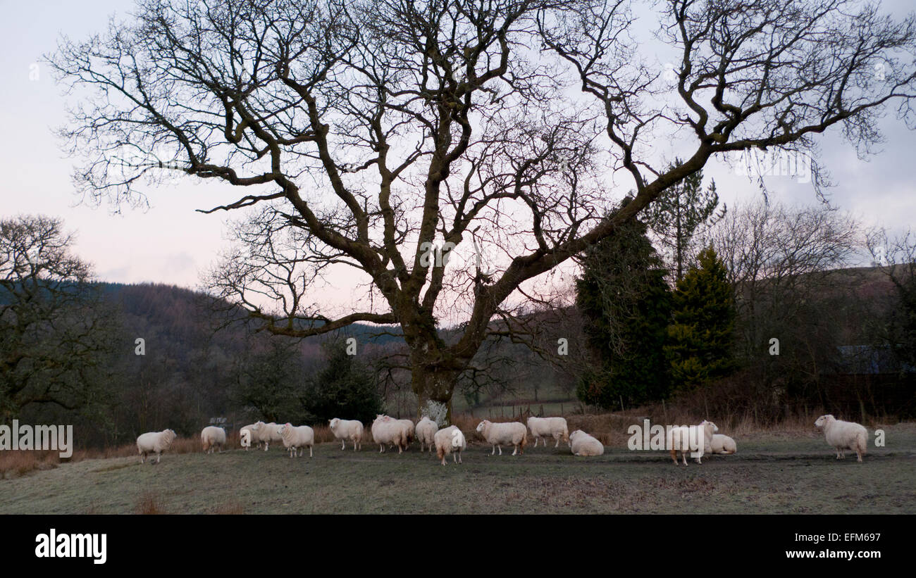 Carmarthenshire, Wales, UK. 7th Feb 2015. Sheep waiting for feeding gather under oak tree on a frosty cold morning Stock Photo