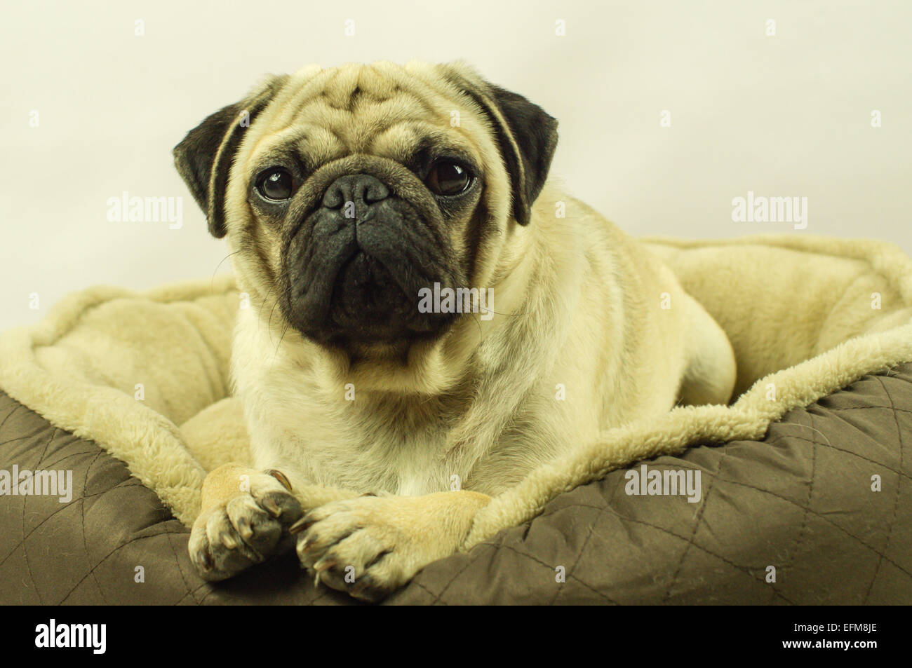 A Pug dog laying on a dog bed - Stock Image