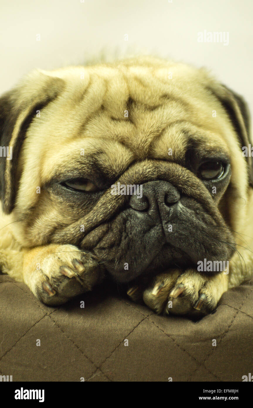 A Pug dog snoozing on a dog bed - Stock Image
