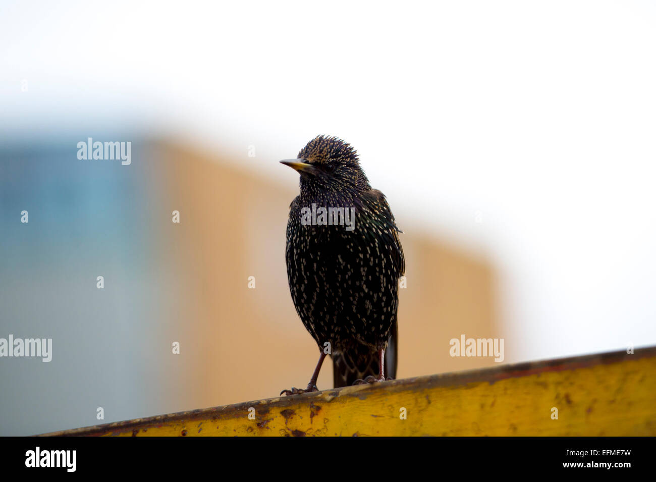 A young starling at Amsterdam's Dappermarkt - Stock Image