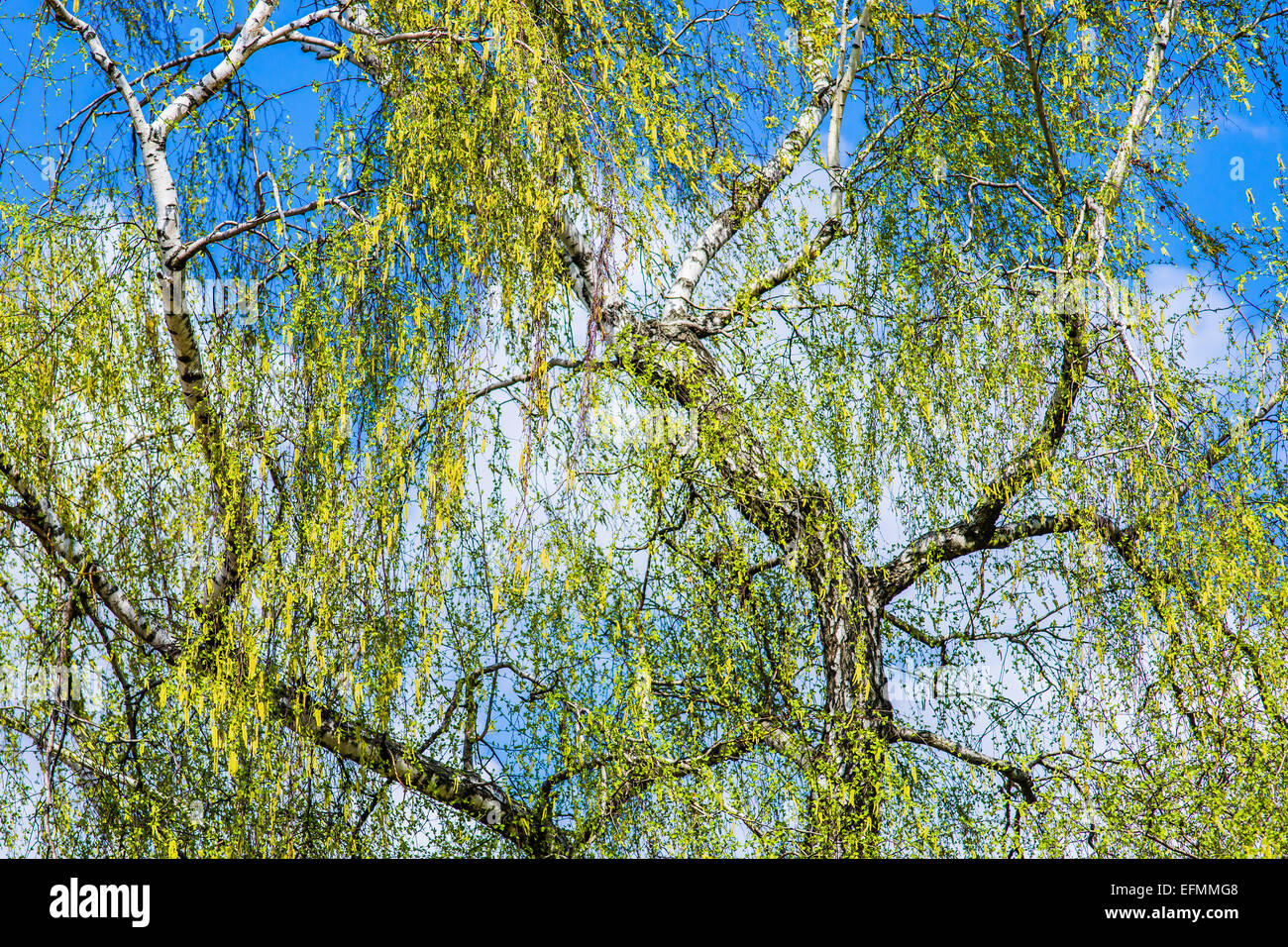 Blooming birch tree in the springtime. The poetry of life rebirth. - Stock Image