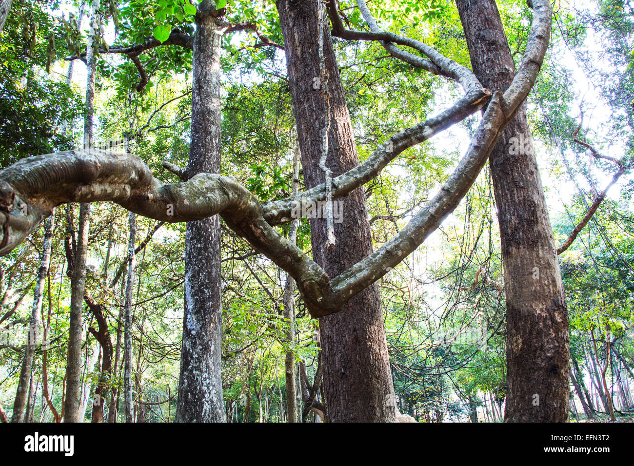 twist in a rain forest - Stock Image