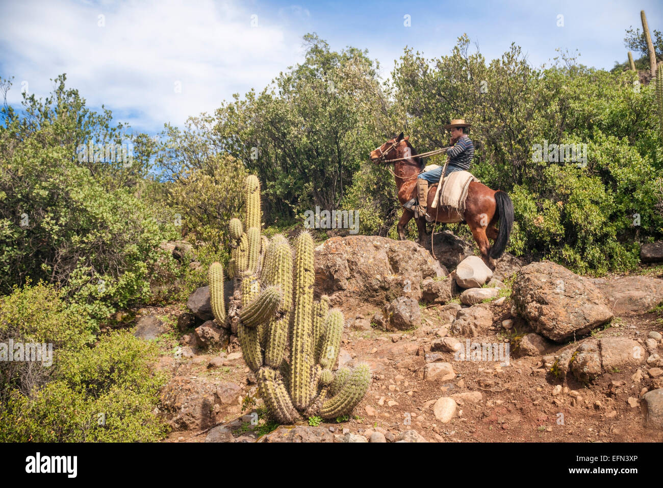 Chilean cowboy (arriero) rides his horse past cactus and rocks up a mountain in El Toyo region of Cajon del Maipo, - Stock Image