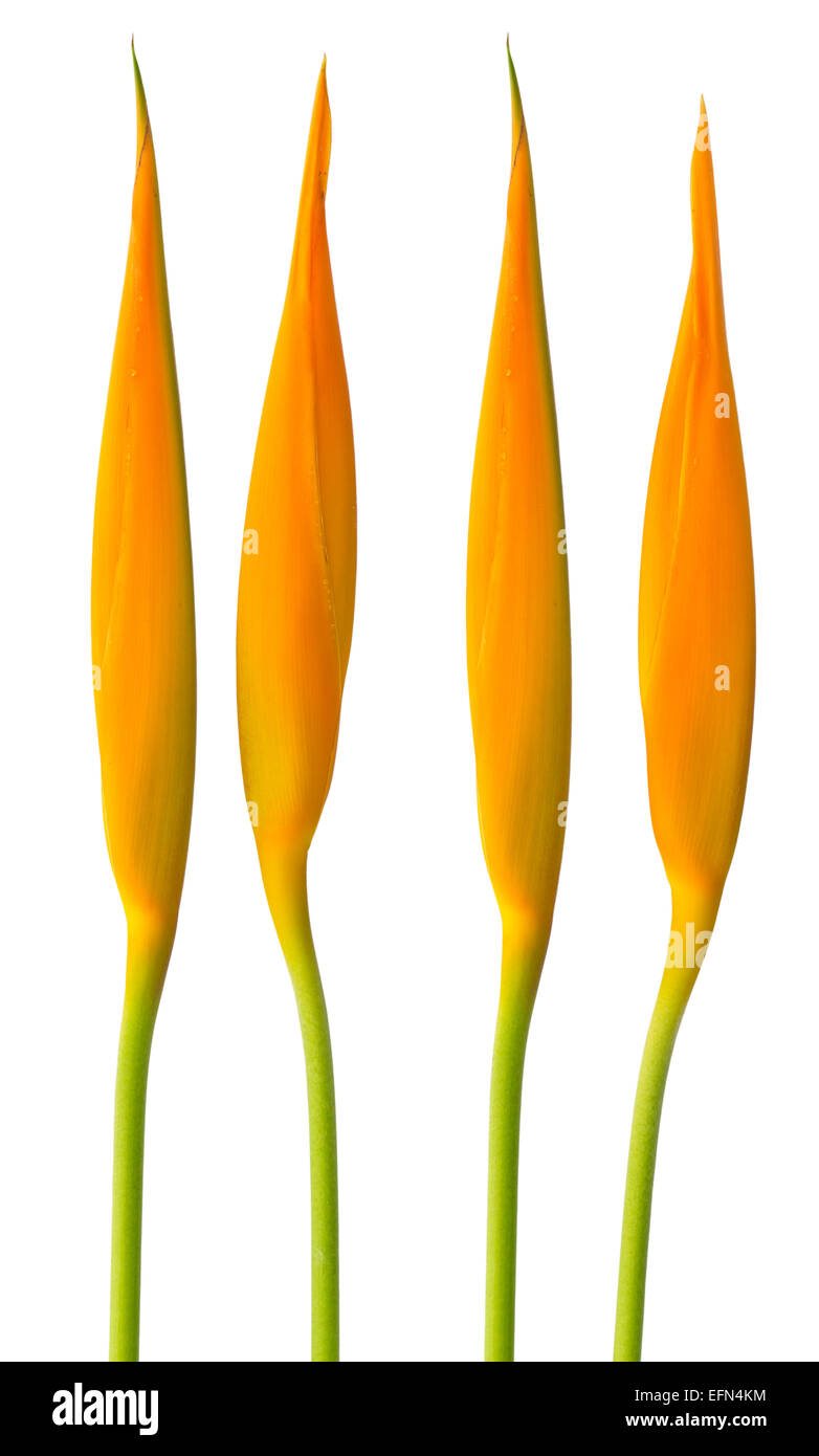 Alan Carle, Heliconia flower isolated on white background and clipping path - Stock Image