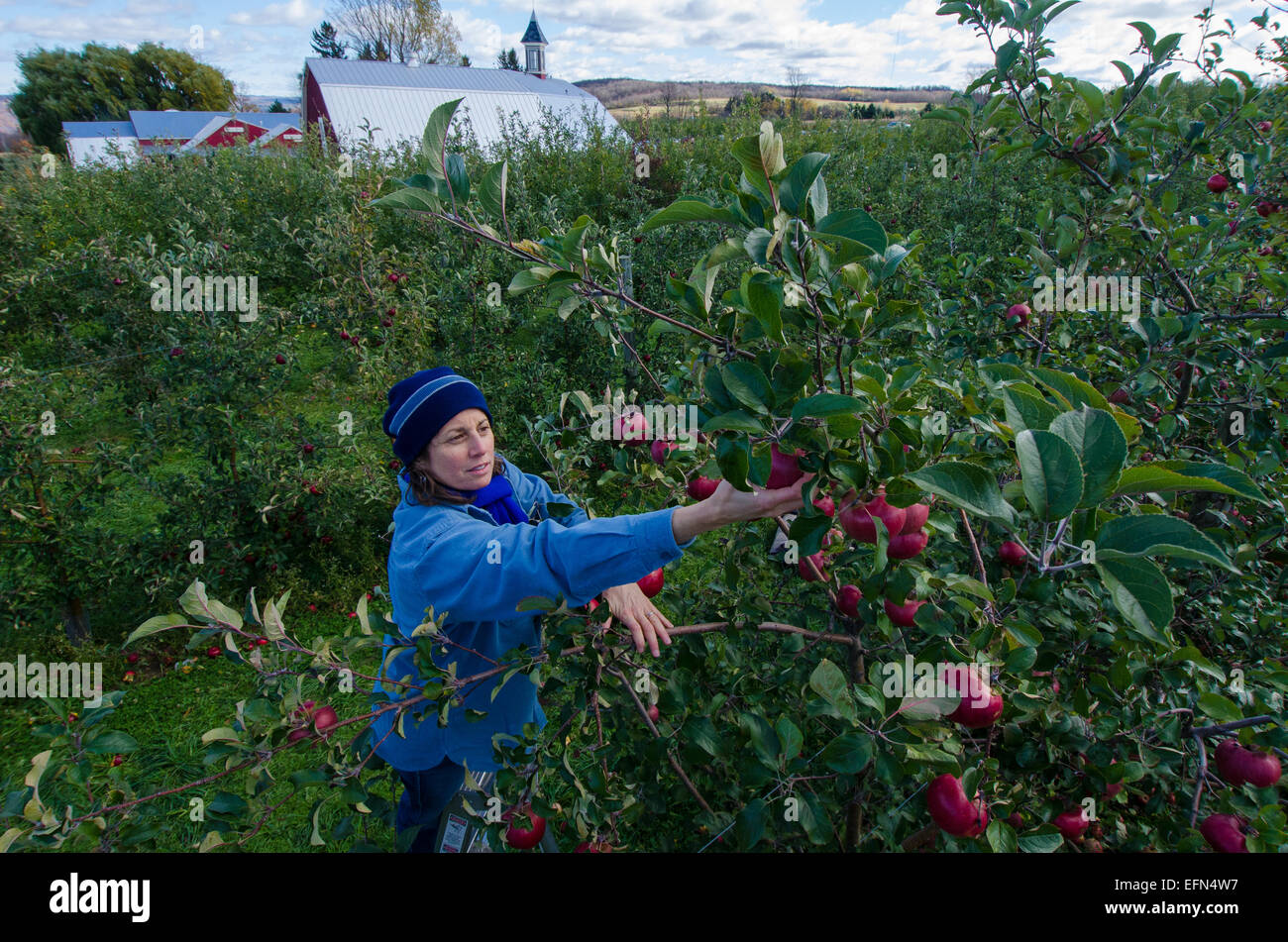A picker climbs a ladder to pluck fresh fruit from an apple tree at an orchard in Lafeyette, New York. - Stock Image