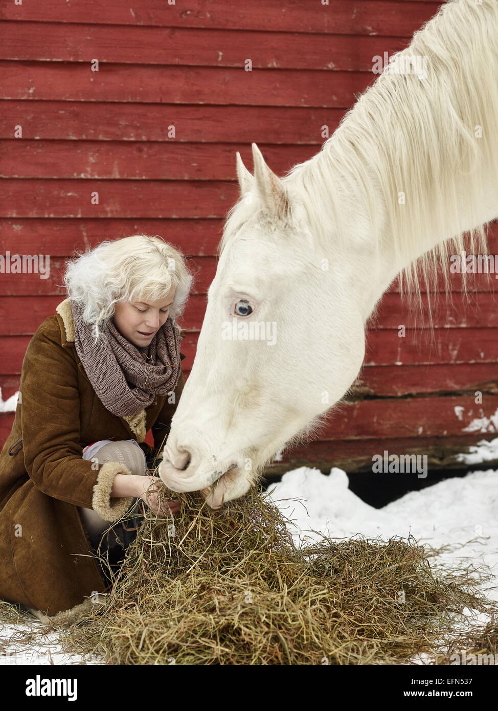 Attractive blond woman feeds a white horse, overcast winter day - Stock Image