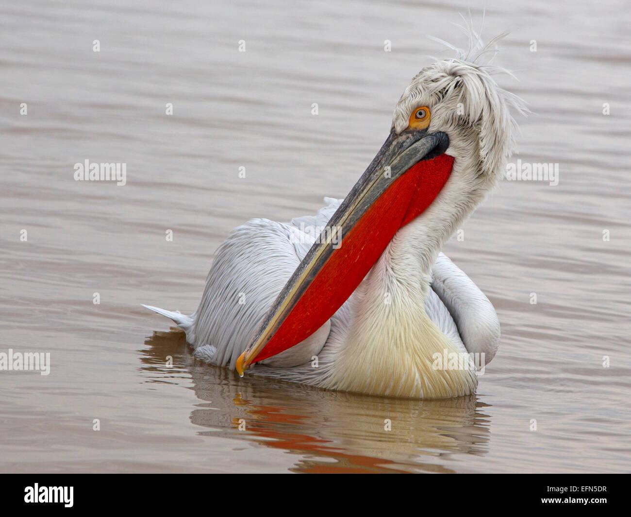Dalmatian pelican swimming - Stock Image