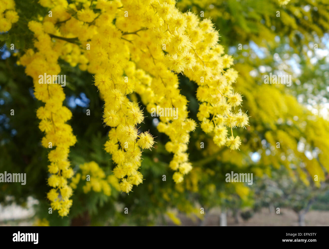 Mimosa Acacia Dealbata Silver Wattle Foliage And Yellow Flowers