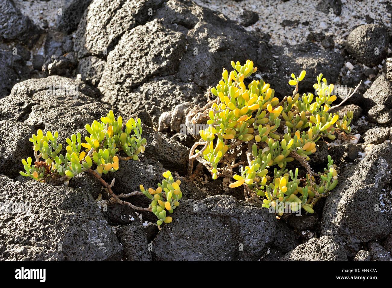 flora of Lanzarote Island - Zygophyllum fontanesii, Canary Islands, Spain - Stock Image