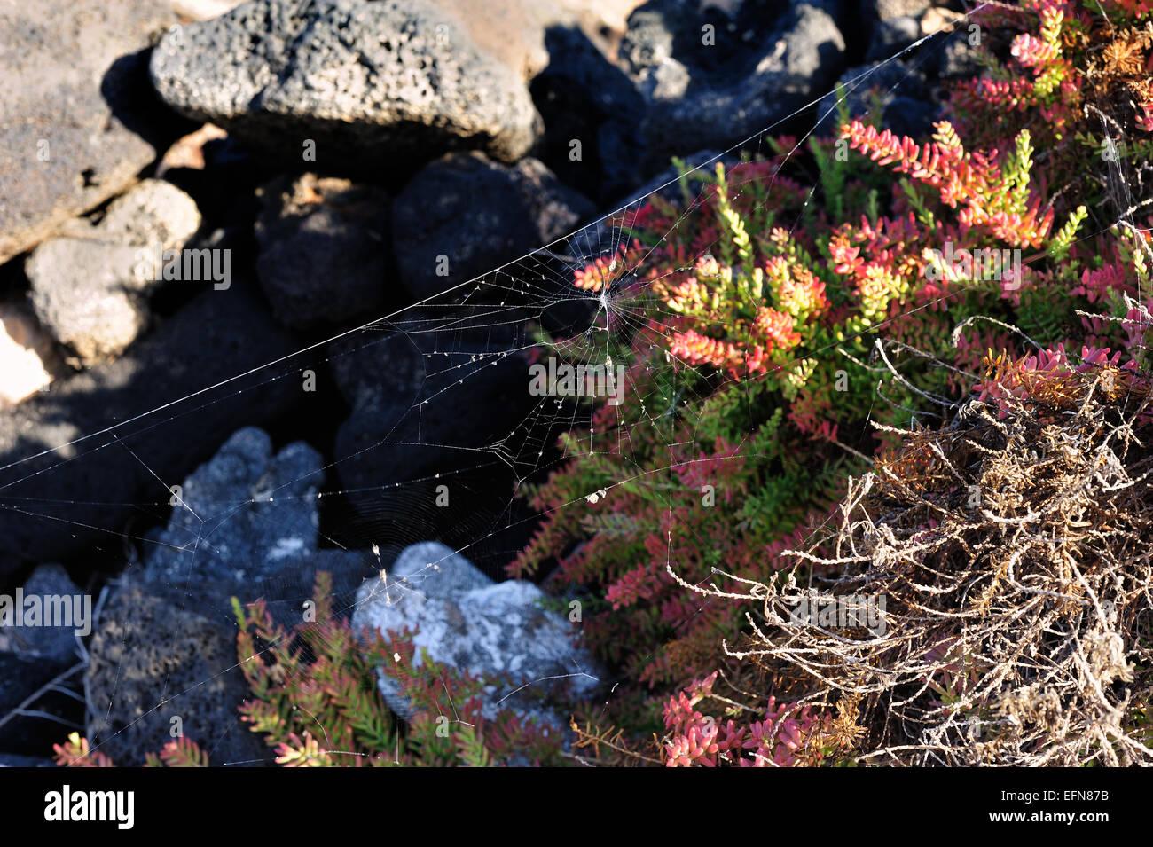 flora of volcanic Lanzarote Island, Canary Islands, Spain - Stock Image