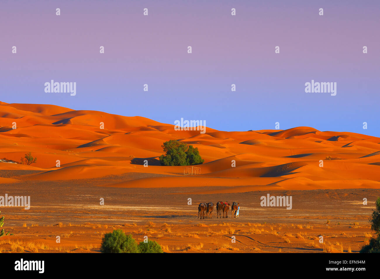 Merzouga, Erg Chebbi, Camel trekking, Merzouga sand dunes, Sahara Desert, Morocco, Maghreb, North Africa. - Stock Image