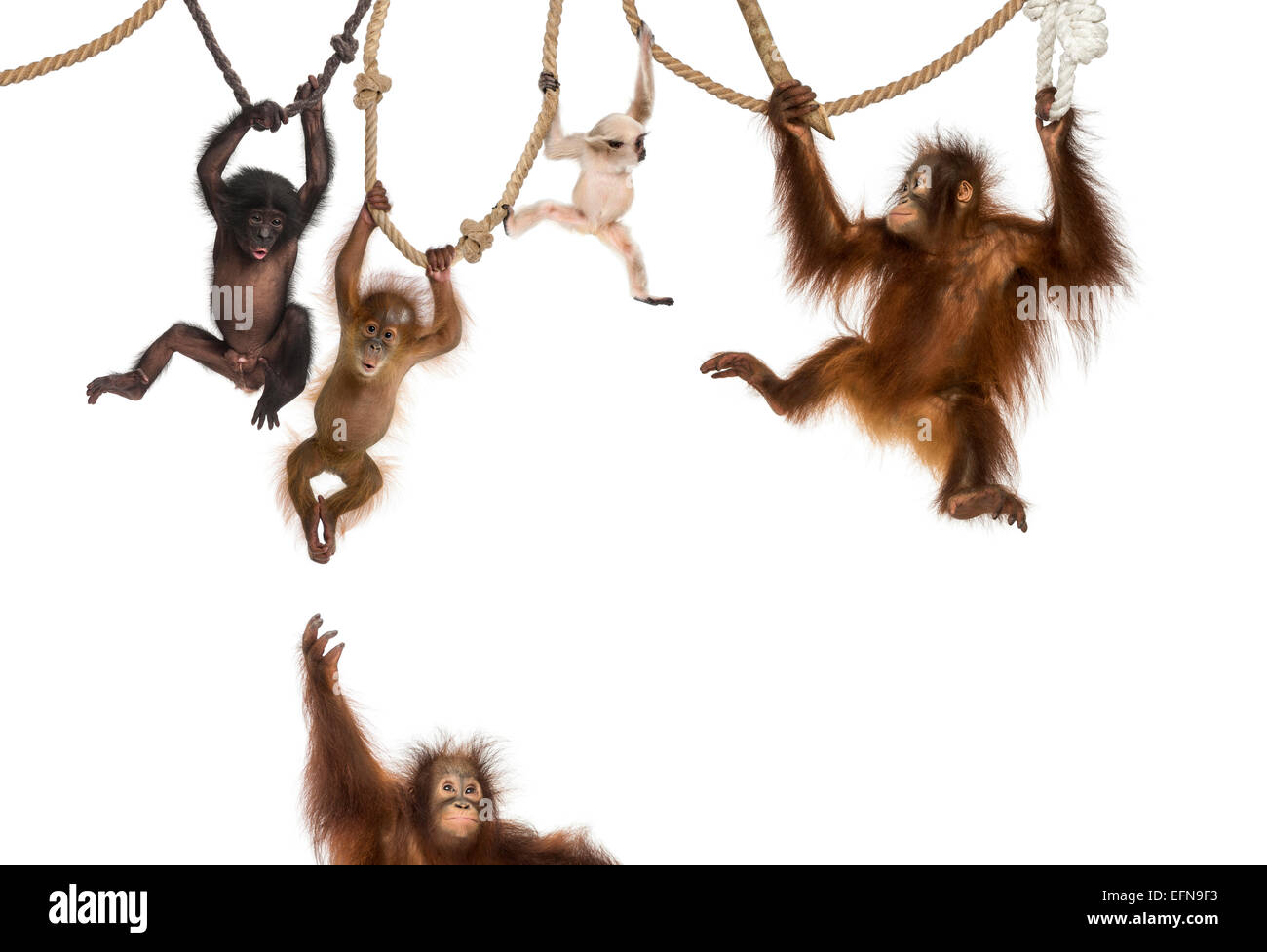 Young Orangutan, Young Pileated Gibbon and Young Bonobo hanging on ropes against white background - Stock Image