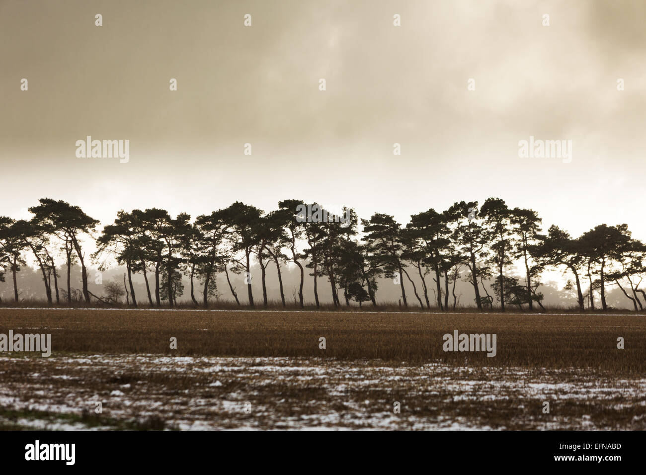 Scots Pine trees, symbol of the Brecks, moody overcast winter day muted colours and some snow in foreground field - Stock Image