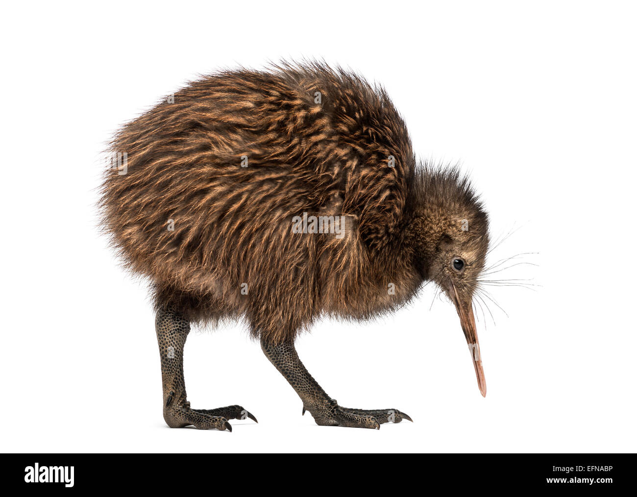 North Island Brown Kiwi, Apteryx mantelli, 3 months old, against white background - Stock Image