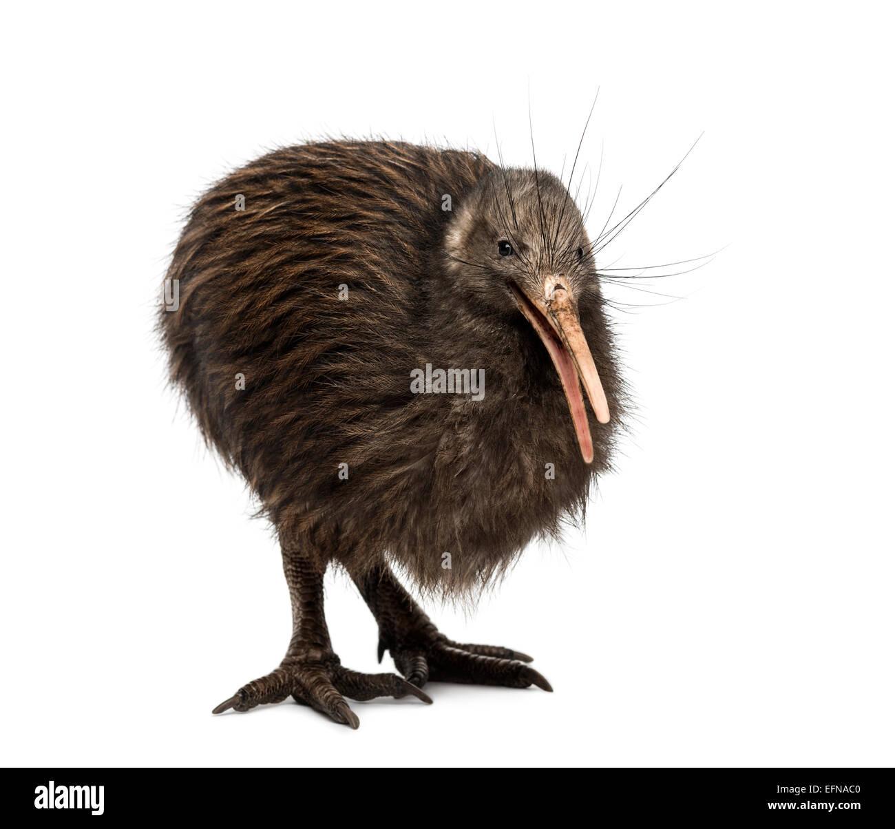 North Island Brown Kiwi, Apteryx mantelli, against white background - Stock Image