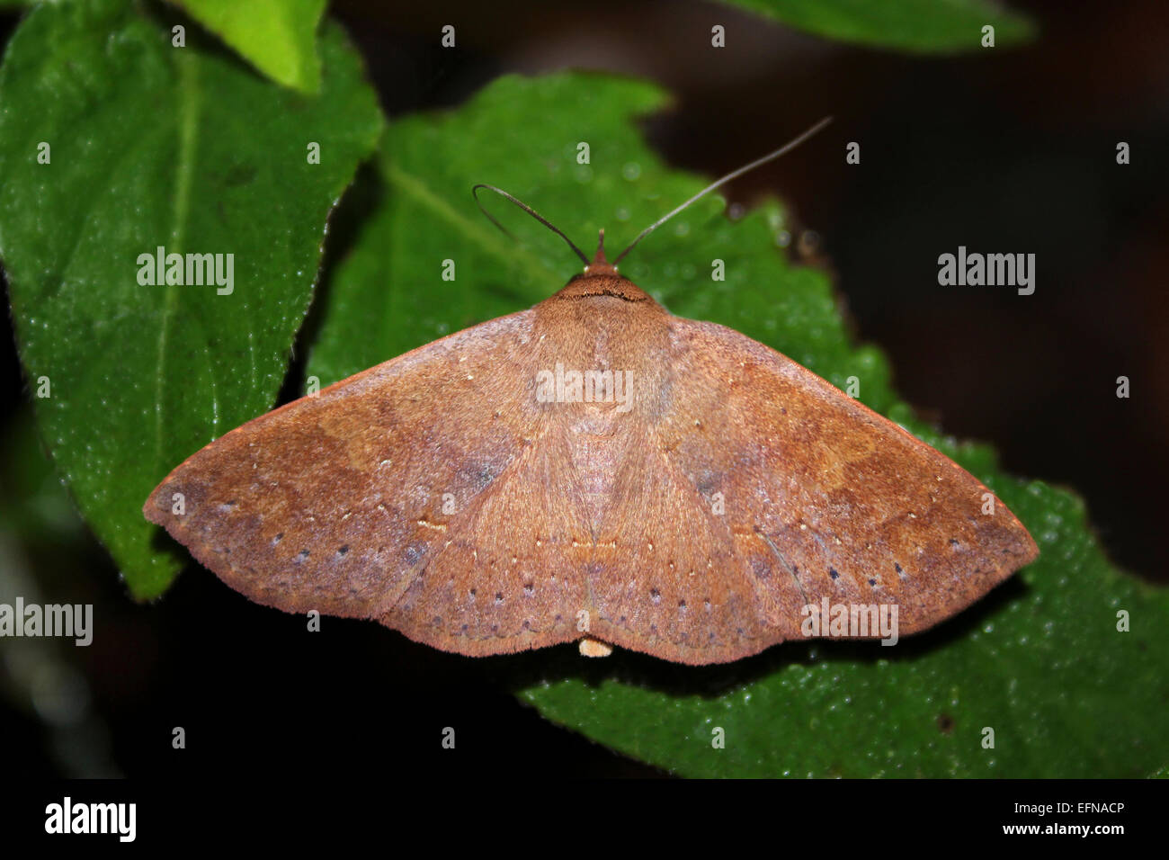 Geometrid Moth Photographed At Night In Tikal National Park, Guatemala - Stock Image