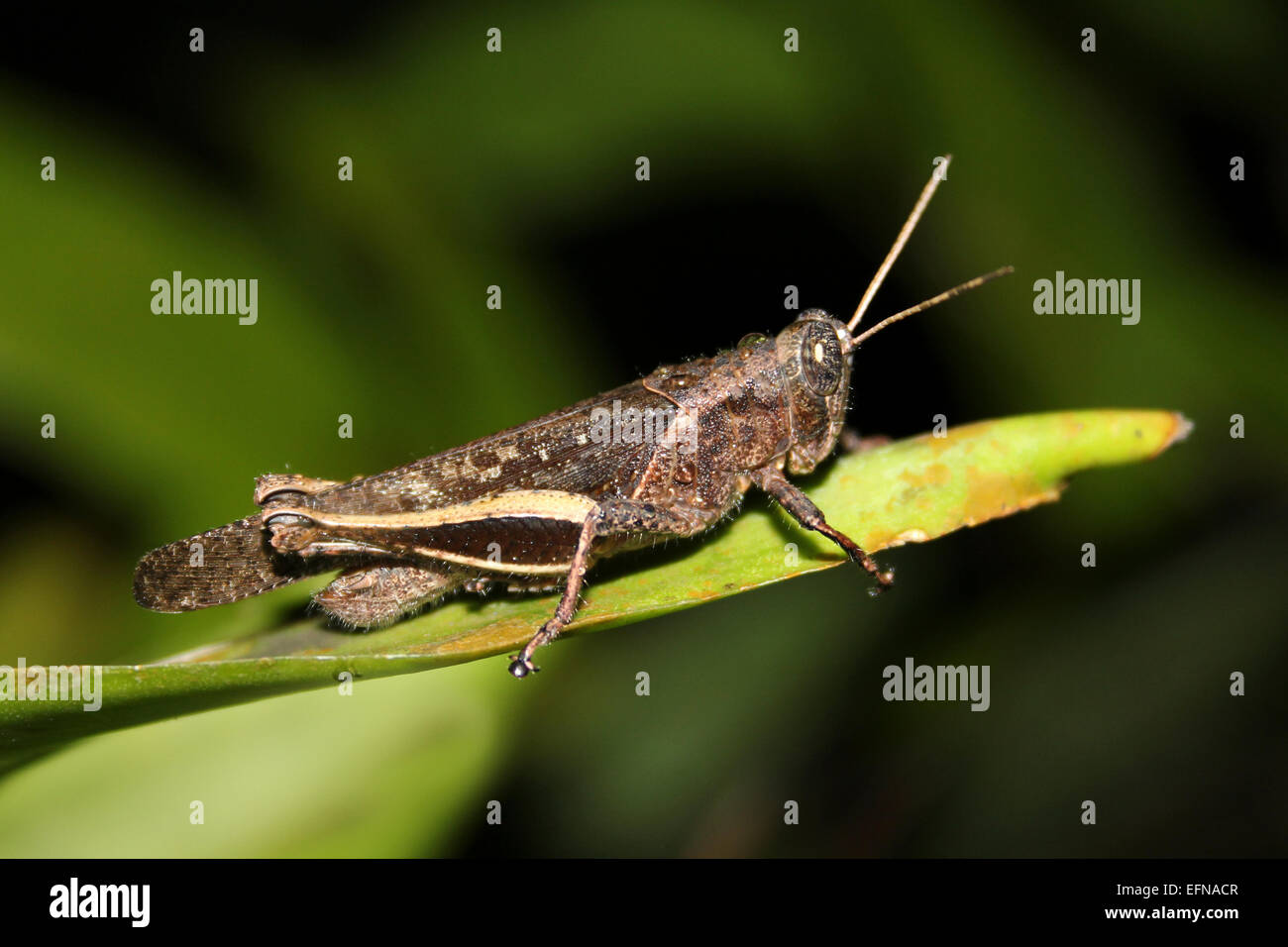 Grasshopper Photographed At Night In Tikal National Park, Guatemala - Stock Image