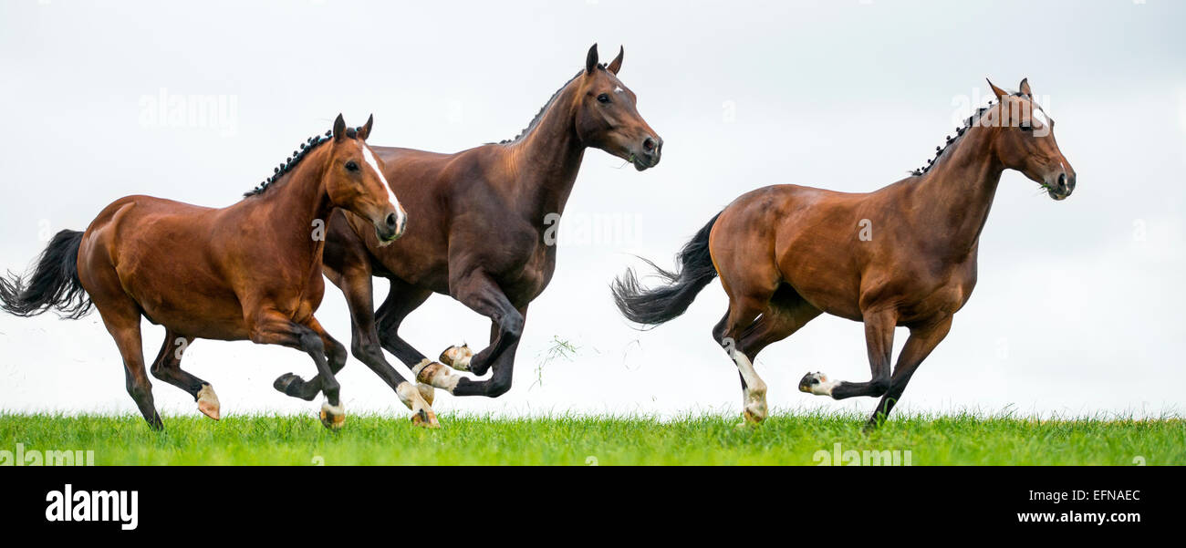Horses galloping in a field - Stock Image