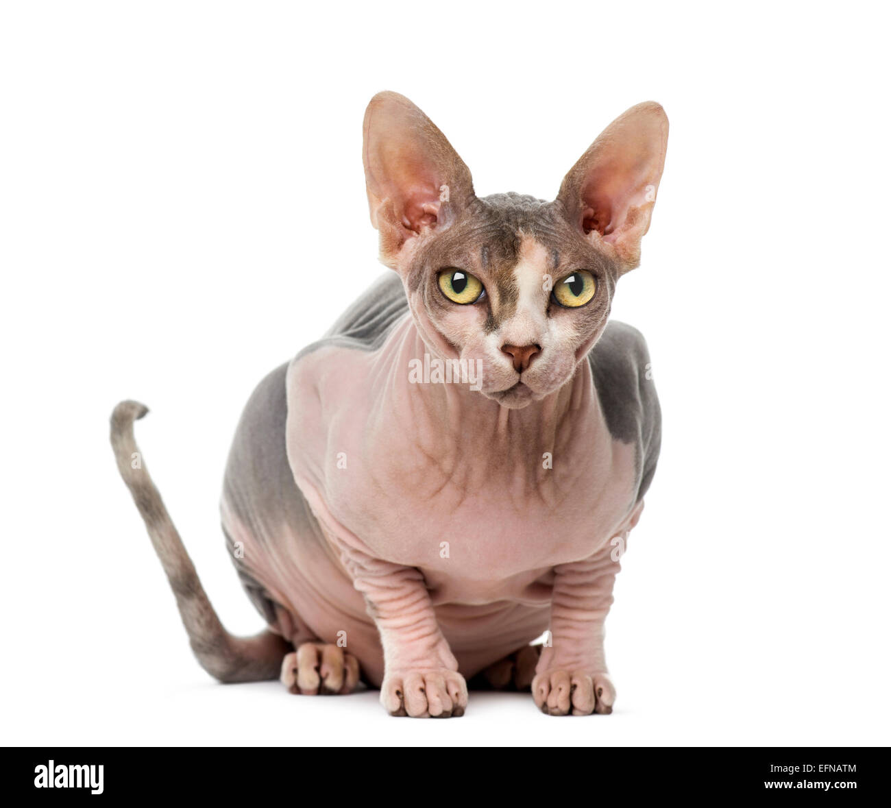 Sphynx (1 year old) against white background - Stock Image