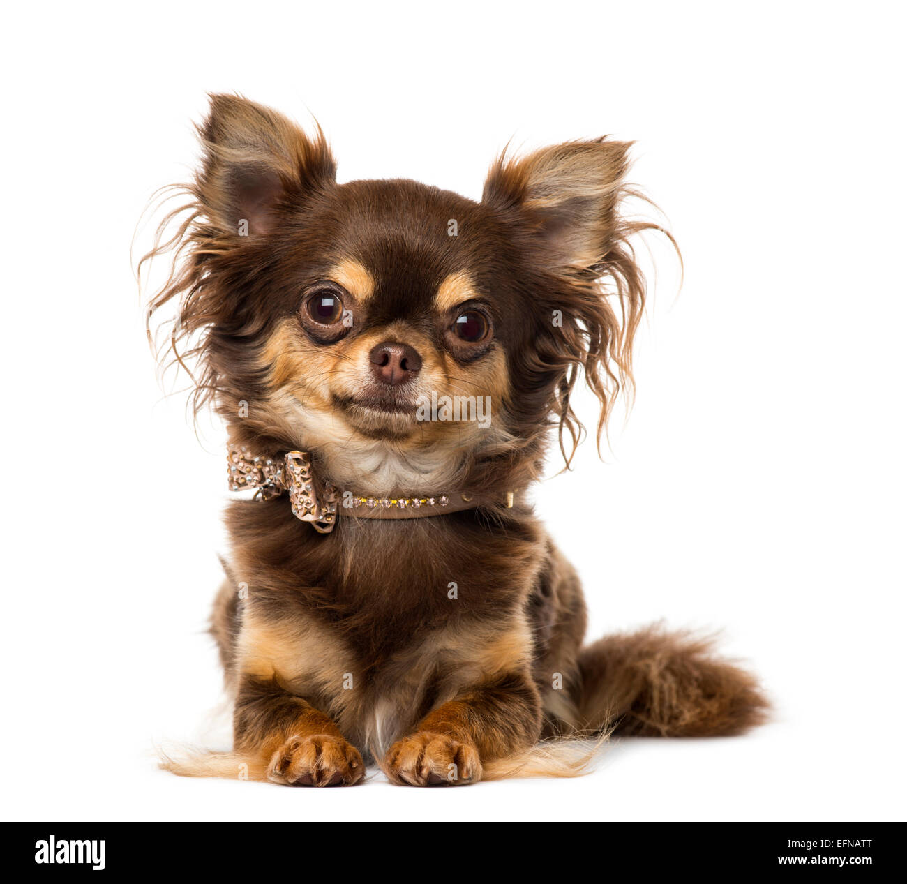 Chihuahua wearing a bow tie collar against white background - Stock Image