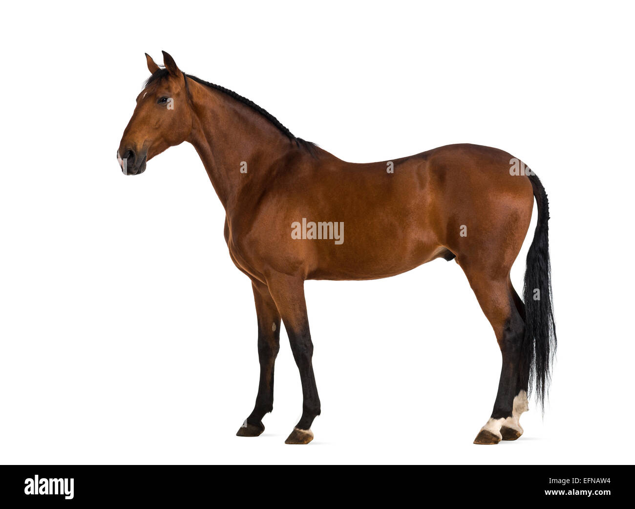 Andalusian horse against white background - Stock Image