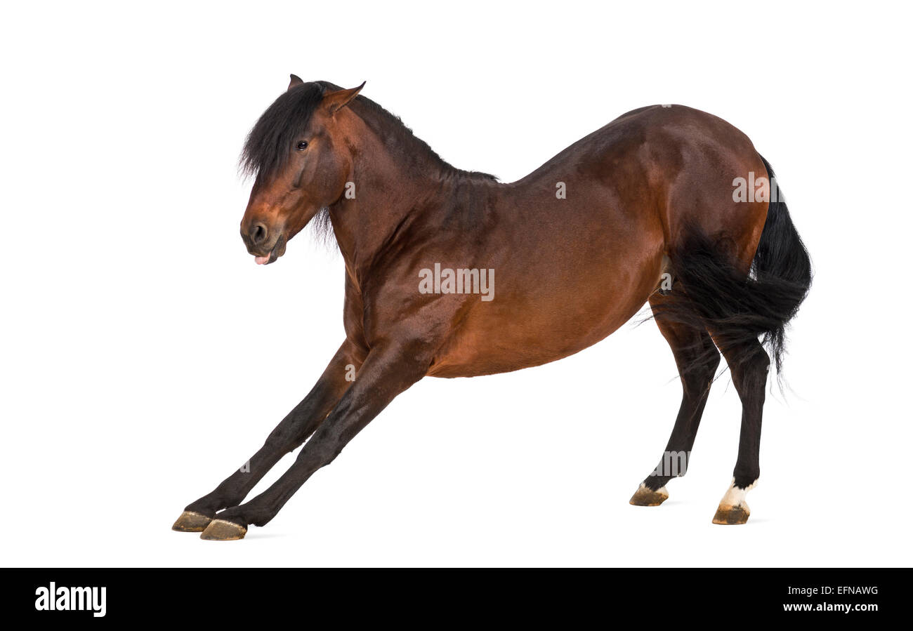Andalusian horse stretching - Stock Image
