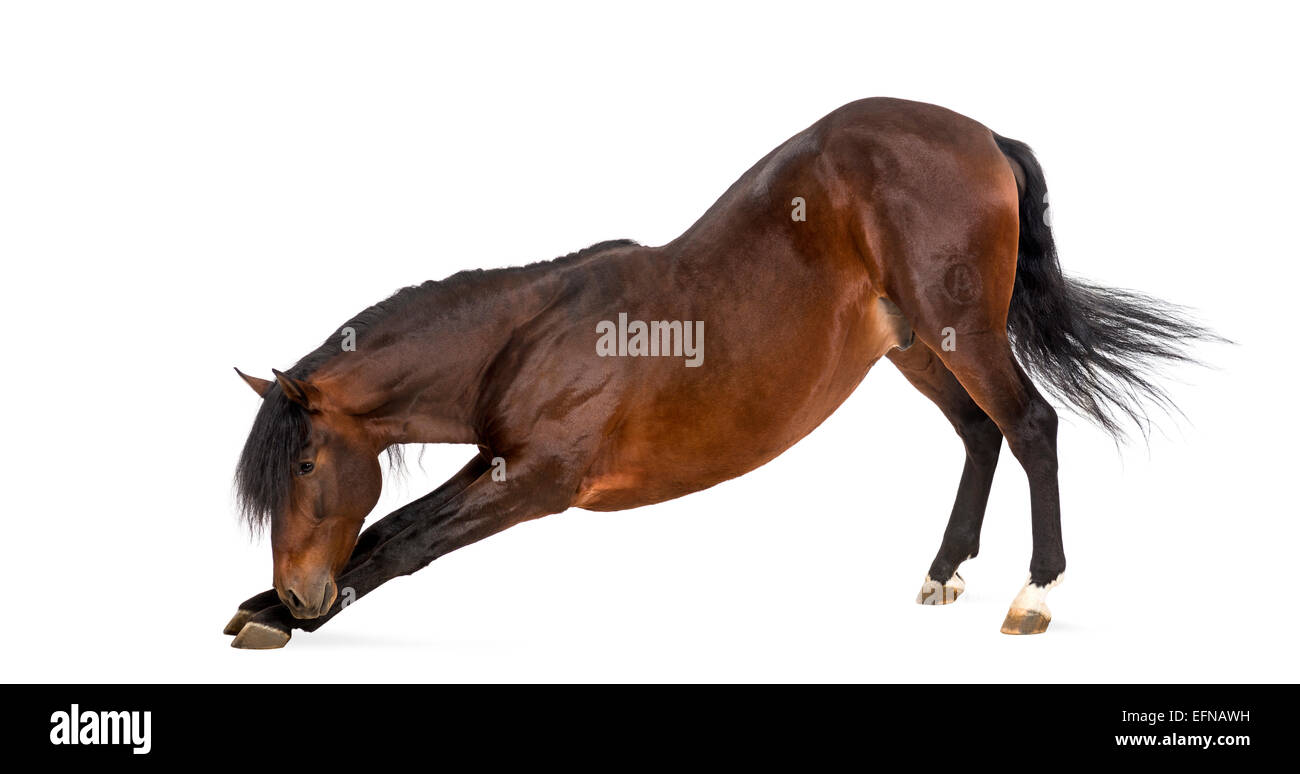 Andalusian horse bowing against white background - Stock Image