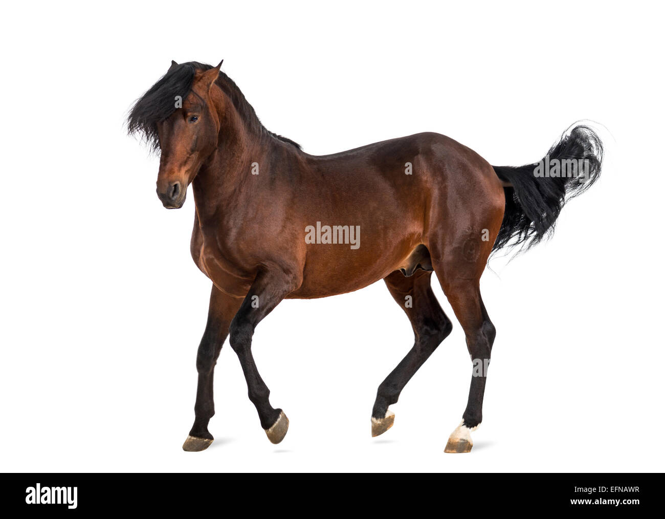 Andalusian horse trotting against white background - Stock Image