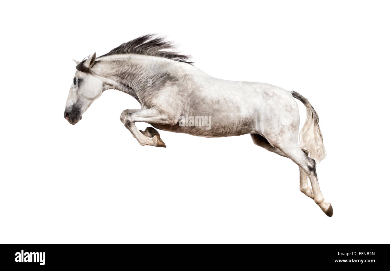 Andalusian horse jumping against white background - Stock Image