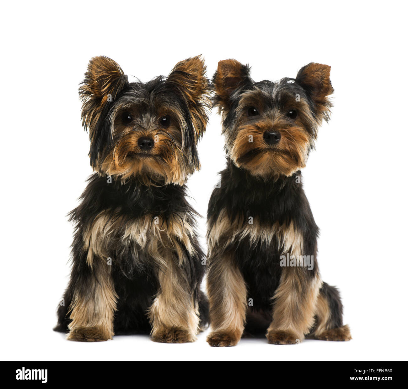 Two Yorkshire terriers next to each other against white background - Stock Image