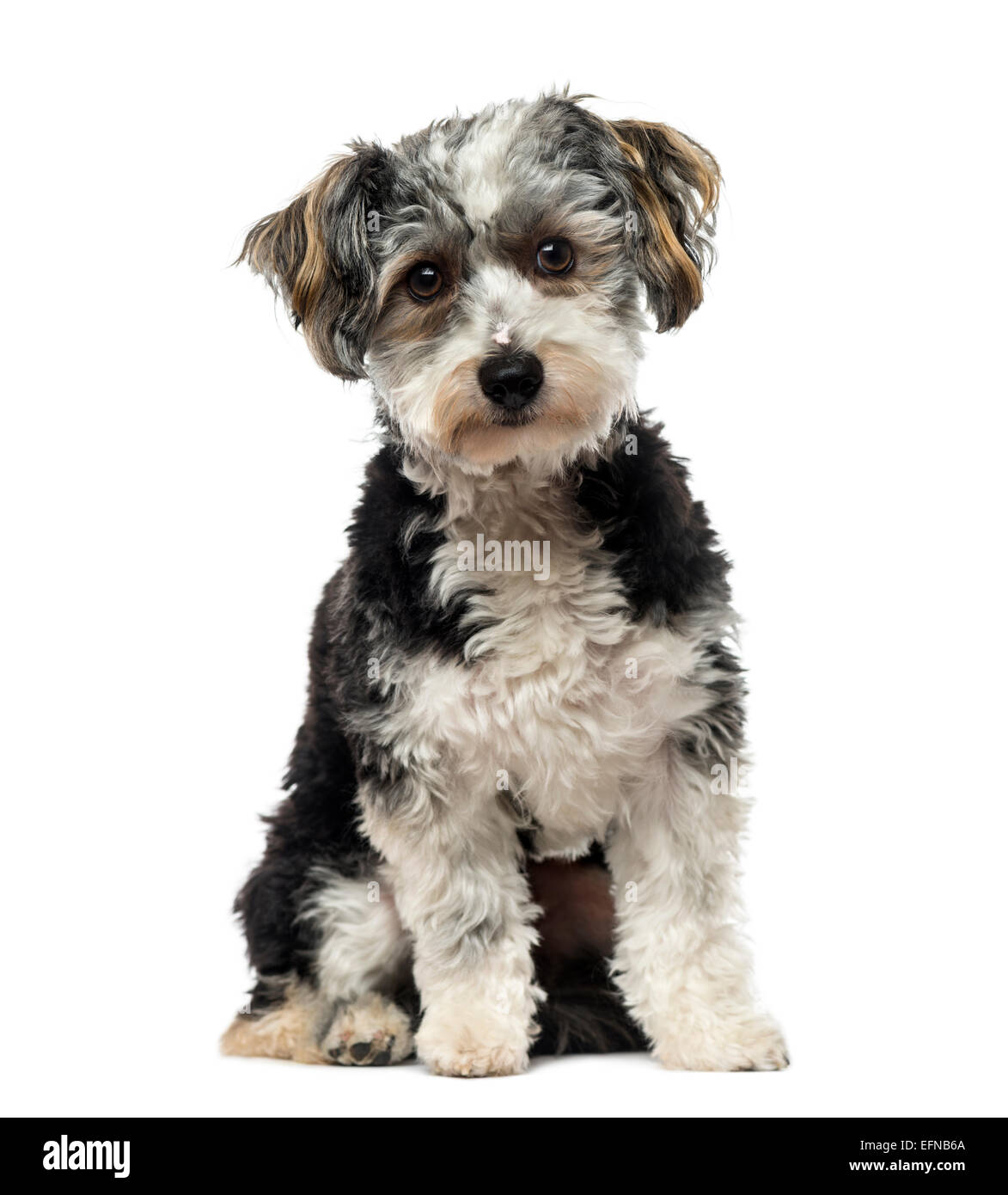 Crossbreed dog (1 year old) against white background Stock Photo
