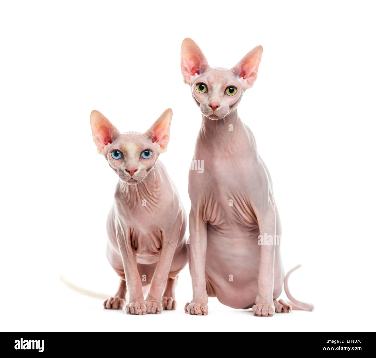 Two Sphinxes against white background - Stock Image