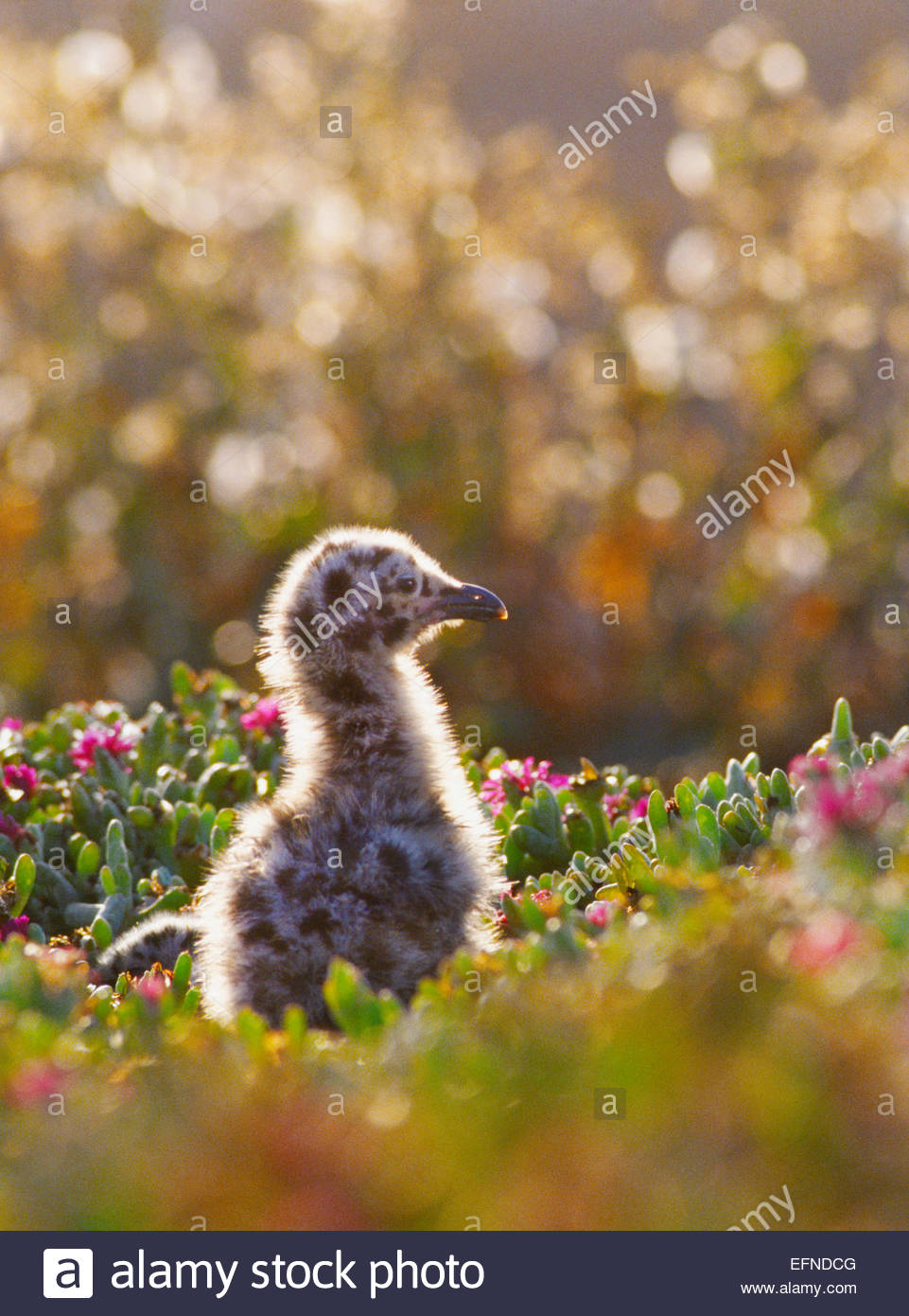 Western seagull chick [Channel Islands National Park] California - Stock Image