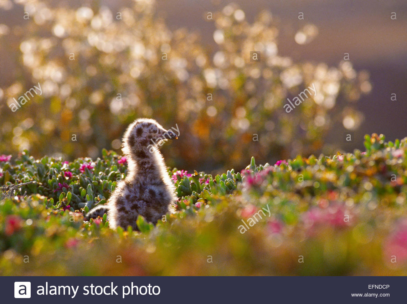 Western gull chick [Channel Islands National Park]California. - Stock Image