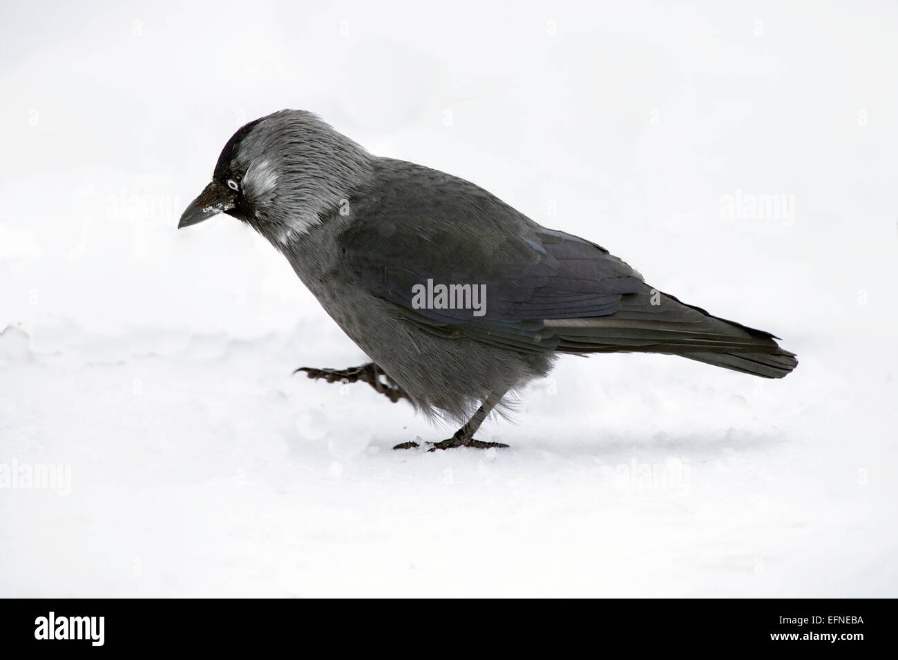Jackdaw taking a stroll in the snow Stock Photo