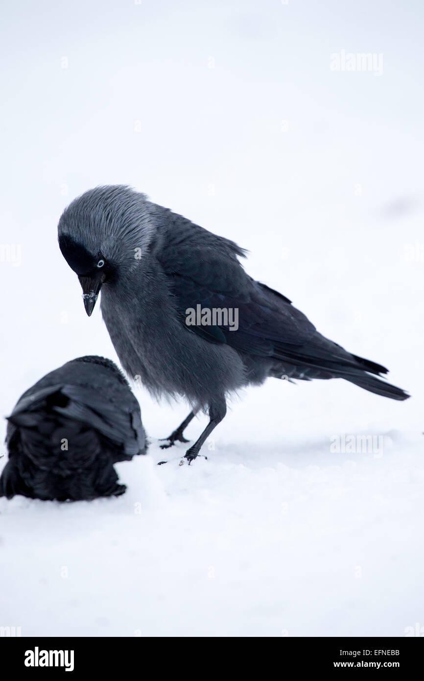 Jackdaws seemingly establishing the pecking oder Stock Photo