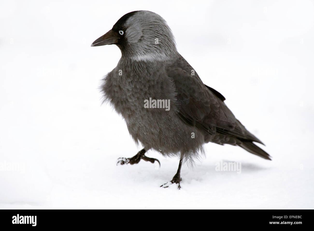 European Jackdaw don´t seem to mind snow Stock Photo
