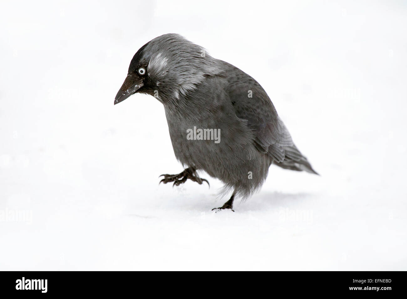 Western Jackdaw stomping the snow Stock Photo