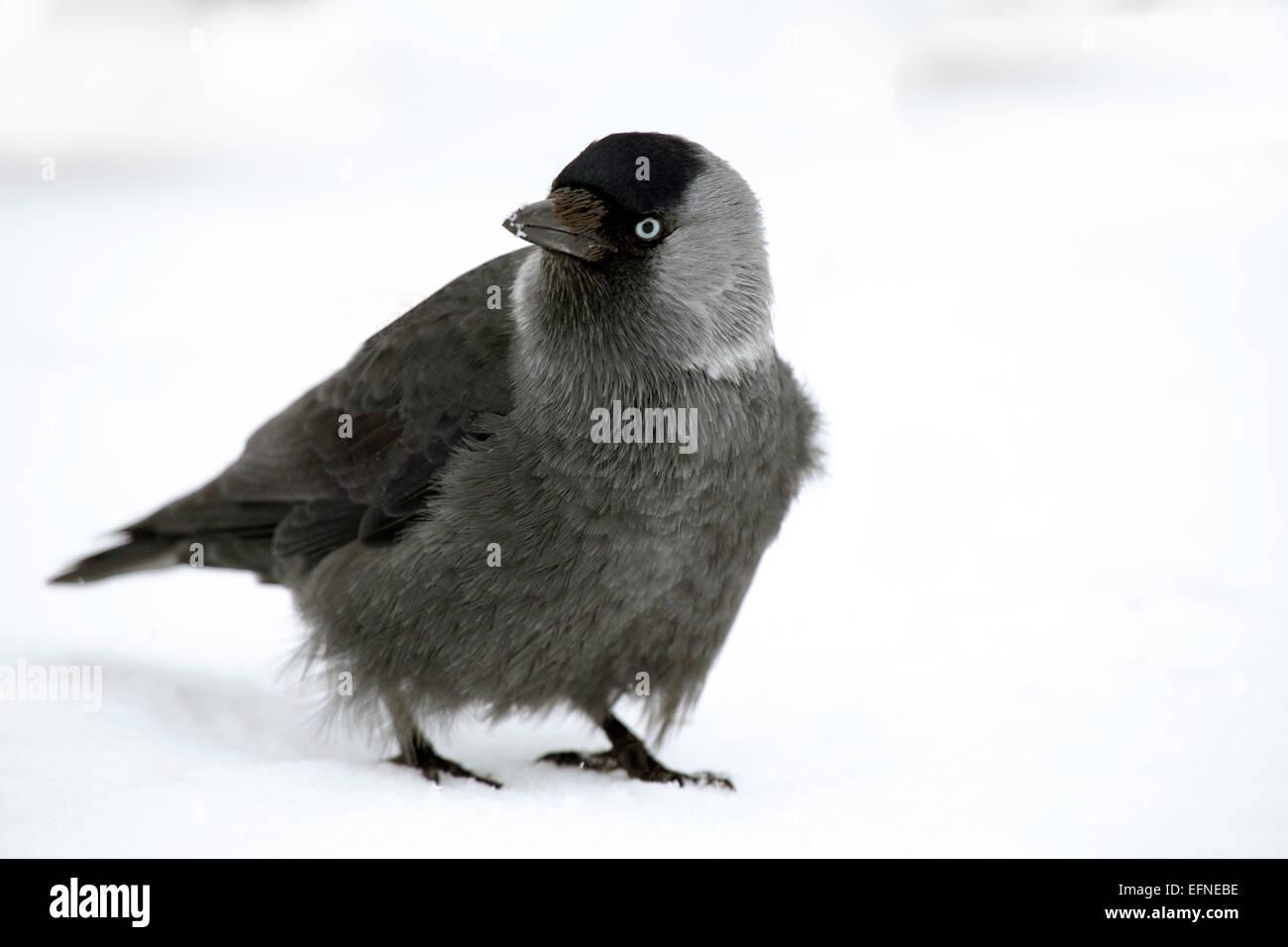 Juvenile Jackdaw in winter Stock Photo