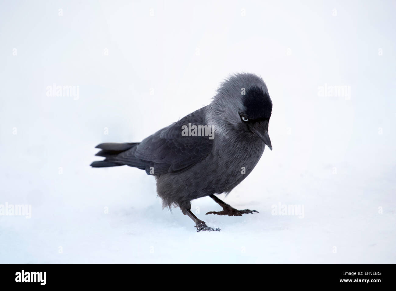 A Jackdaw in winter Stock Photo