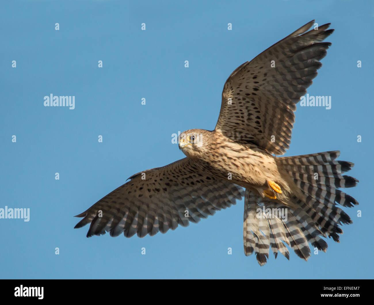 kestrel in flight - Stock Image